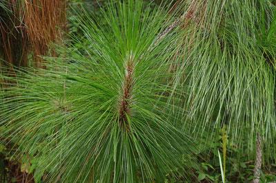 SC-Longleaf-Pine_web